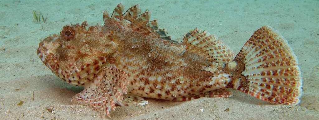 Scorpaena cardinalis2